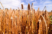 Textured Wheat Field — Stock Photo
