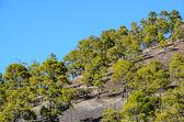 特内里费岛泰德火山国家公园的森林 — 图库照片