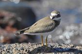 Vuxen kentiska strandpipare vatten fågel — Stockfoto
