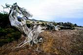 Gnarled Juniper Tree Shaped By The Wind — Stockfoto