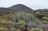 Cactus in the Desert — Stock Photo