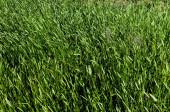 Texture Grass — Stock Photo