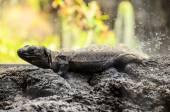 Canarian Lizard — Stock Photo