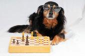 Smart Dog Playing Chess — Stock Photo
