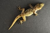 Lézard gecko gris — Photo