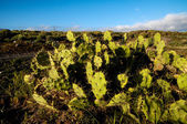 Cactus in the Desert — Stock Photo