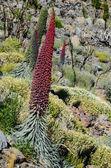 Tajinaste Flower of Tenerife Island — Stock Photo