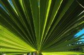 Yeşil palmiye yaprakları — Stok fotoğraf