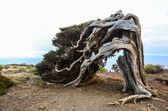 Gnarled Juniper Tree Shaped By The Wind — Stock fotografie