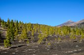 Forest In Teide National Park Tenerife — Stock Photo