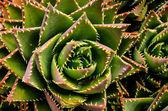 Green Succulent Flower — Stock Photo