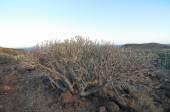 Sukkulente kaktus in der trockenen wüste — Stockfoto