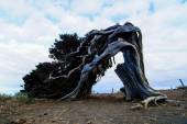 Gnarled Juniper Tree Shaped By The Wind — Stock Photo