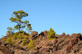Forest In Teide National Park Tenerife — ストック写真