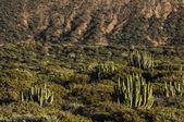 Cactus in de woestijn — Stockfoto