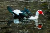Muscovy Duck Swimming — Stock Photo