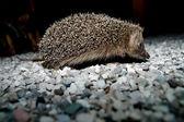 West European Hedgehog — Stock Photo