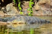 Amphibian Prehistoric Crocodile — Stock Photo