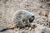 Small Carnivore Mammal Animal Suricata — Stock Photo