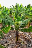 Banana Plantation Field — Stock Photo