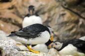 Черный и белый Пингвин — Стоковое фото