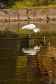 Großer weißer Reiher (Ardea Alba) Angeln — Stockfoto