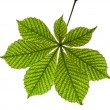 Chestnut tree green leaf — Stock Photo #52432787