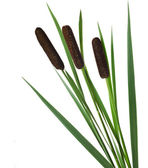 Reeds with green leaves — Stock Photo