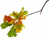 Autumn Oak branch — Stock Photo