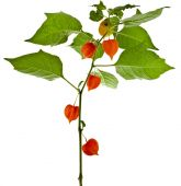 Physalis plant — Stock Photo