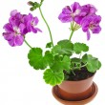 Pink geranium flower — Stock Photo #57290063