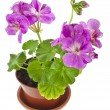 Pink geranium flower in pot — Stock Photo #58791081