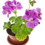 Pink geranium flower in pot — Stock Photo #58791081