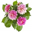 Pink Dahlia Flowers bouquet — Stock Photo #58791087