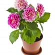 Pink Dahlia Flowers bouquet — Stock Photo #58791191