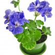 Blue geranium flower in pot — Stock Photo #58791565
