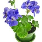 Blue geranium flower in pot — Stock Photo #58791565