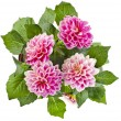 Pink Dahlia Flowers bouquet — Stock Photo #58791647