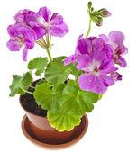 Pink geranium flower in pot — Stock Photo