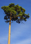 Pine tree on blue sky background — Stock Photo