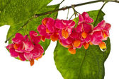 Branch of spindle tree — Stock Photo