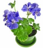Blue geranium flower in pot — Stock Photo