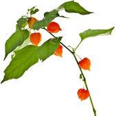 Physalis alkekengi plant — Stock Photo