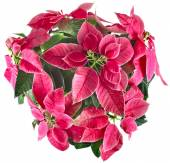 Christmas flower Red poinsettia — Stock Photo