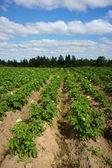 Potato garden beds — Stock Photo
