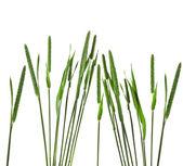 Closeup of timothy grass — Stock Photo