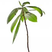Loquat Medlar Tree isolated — Stock Photo