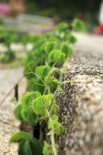 Green ivy leaf on the ground — Stockfoto