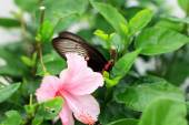 Pink hibiscus flower and butterfly in nature. — Stock Photo