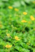 Yellow daisies in nature — Stock Photo